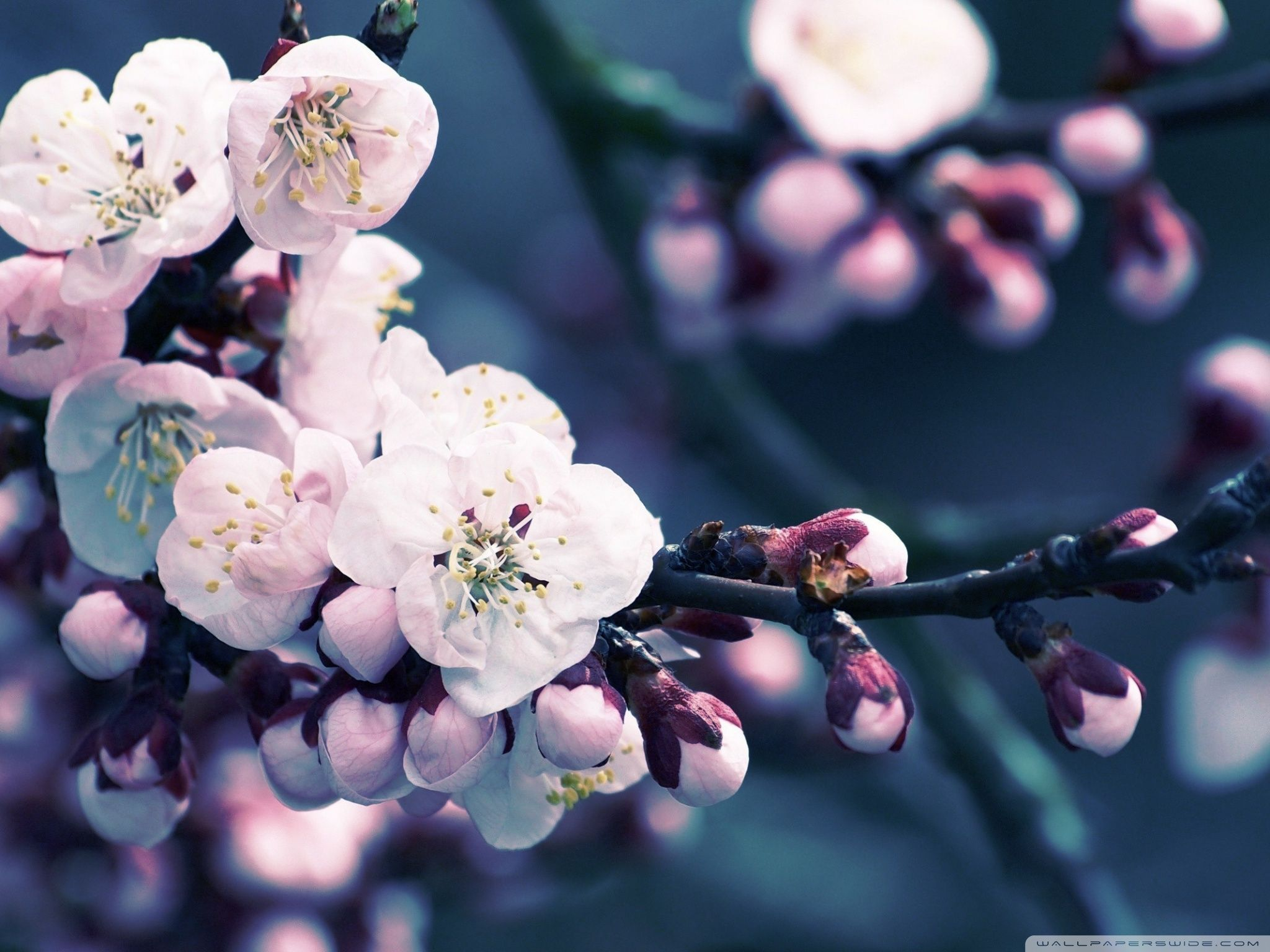 Flower Close Up Of Cherry Blossom HD Desktop Wallpaper