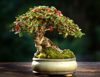 Rockspray Cotoneaster, 3.7 inches styled by Morten Albek...gorgeous proportions.