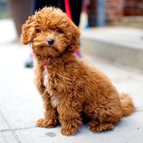 Yinga Toy Poodle 4 160 M O N 8th Amp Kent Ave Brooklyn Ny
