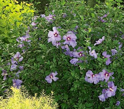 Hibiscus Syriacus Blue Satin White Flower Farm Rose Of Sharon Bush White Flower Farm Rose Of Sharon