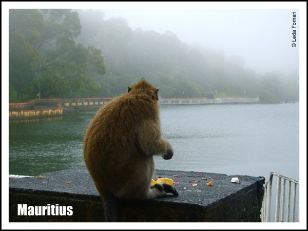 Mauritius: monkey in Grand-Bassin