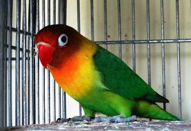 104  Gambar Burung Lovebird Ijo Standart