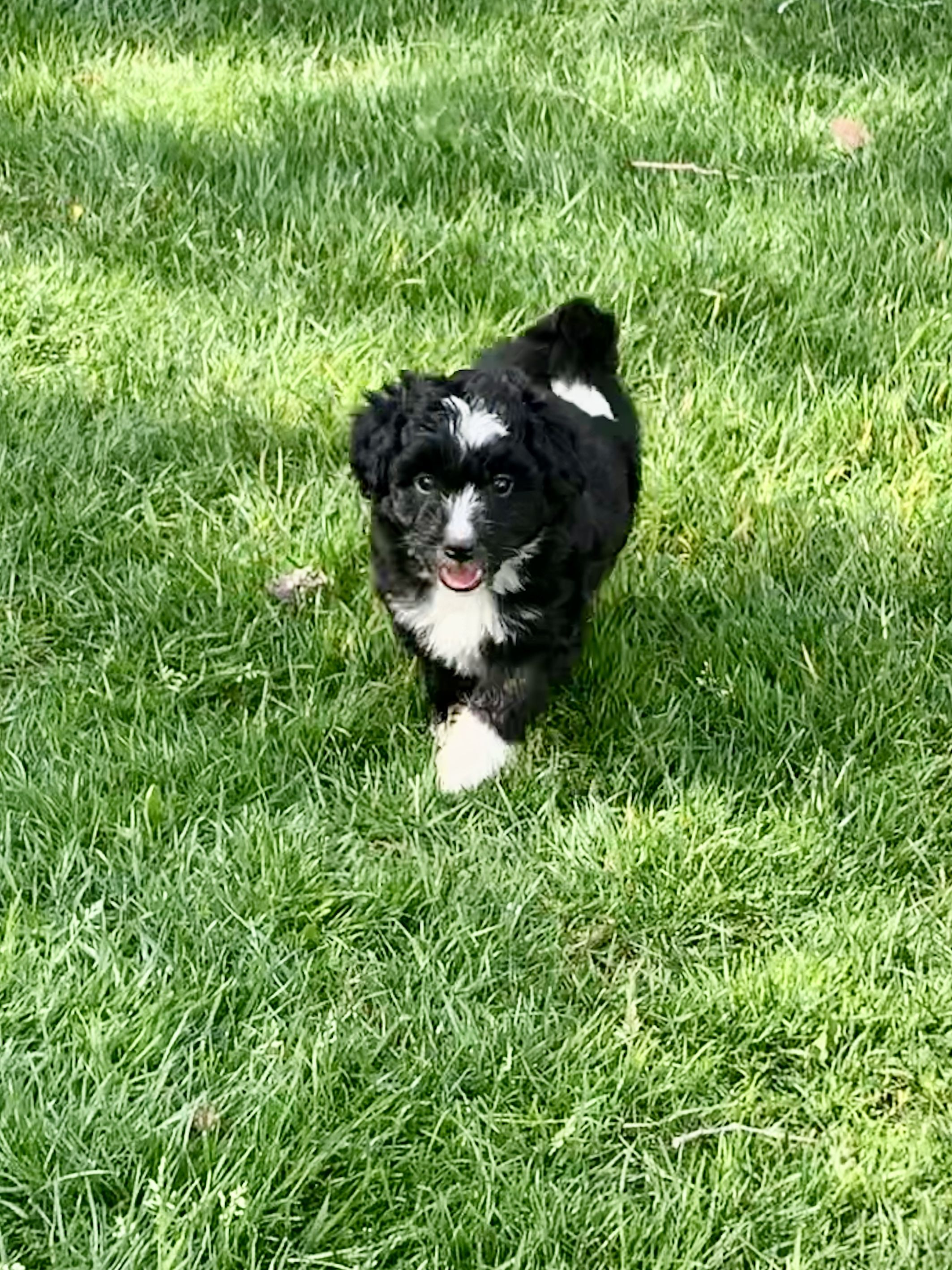 Charlie (F1) Miniature Aussiedoodle male in 2020 Puppy