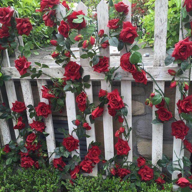 Image result for red rose garden pinterest