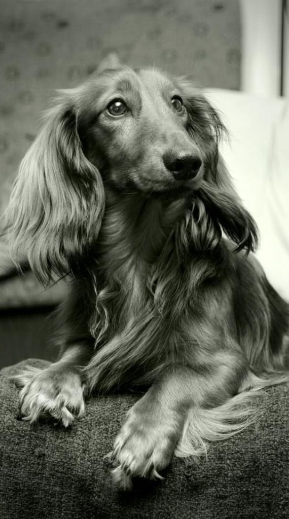 Dachshund Love This Black And White Longhair Dachshund Dog