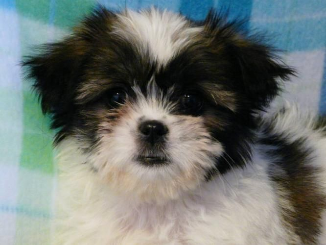 Pets And Animals For Sale In Edmonton Alberta Classifieds Buy And Sell Kittens And Puppies Shitzu Dogs Puppies Dogs