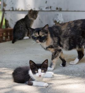 I Wouldn T Say Feral Colonies That Have Caretakers Lead Comfortable Lives Because Even When They Re Spayed Neutered And Va Feral Cats Baby Cats Cats