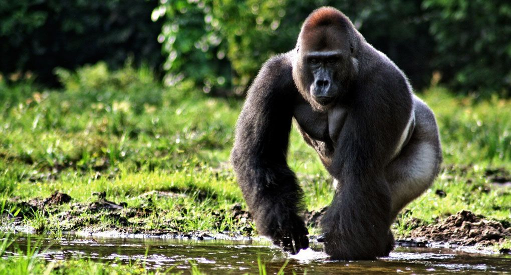 South-African-Journey, we welcome you to Uganda and Rwanda for mountain gorilla safari trips. Our packages are suited for both the luxury and budget traveler to Africa. We tailor your safari to see the gorillas to suit your number of days, accommodation preference and something else that you would like to see or do besides the Mountain gorillas. #moodelite, #luxury travel, #moodelitetravel, #MoodeliteDestinationAfrica  #Rwandagorillas #Africa.