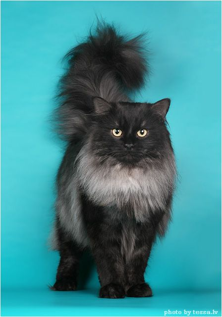 Siberian Forest Cat | Animals | Pinterest | Black smoke ...