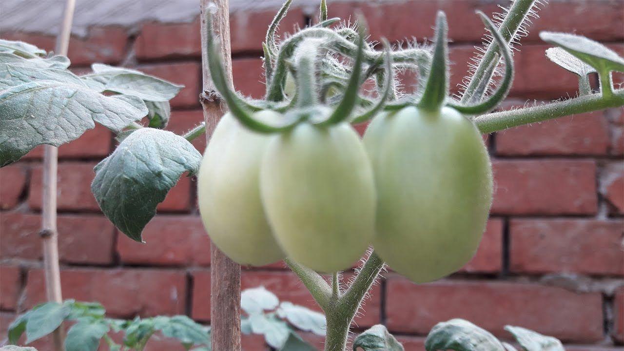 زراعة الطماطم فوق اسطح المنازل Youtube Vegetables Garden Tomato