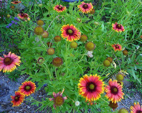 Focus on natives indian blanketflower oklahoma state flower focus on natives indian blanketflower oklahoma state flower publicscrutiny Image collections
