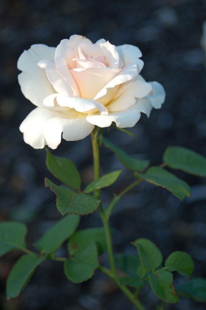 Single Flower Garden : White single flower reynolda gardens pinterest