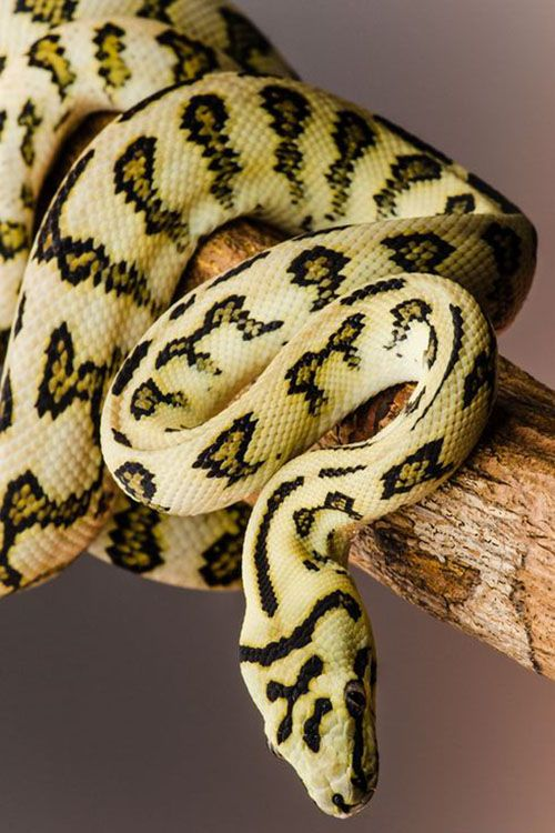 Jaguar Coastal Carpet Python Pet Snake Snake Reptiles And