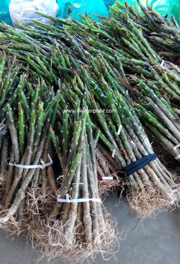 Cheap Price Plumeria Plant Thailand For Sale Plumeria Plants Grafting
