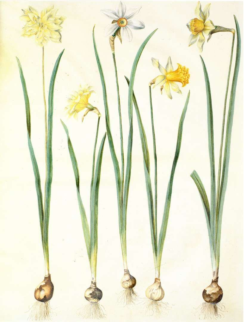 Bulbs Daffodils Botanical Drawings Botanical Illustration Botanical Flowers