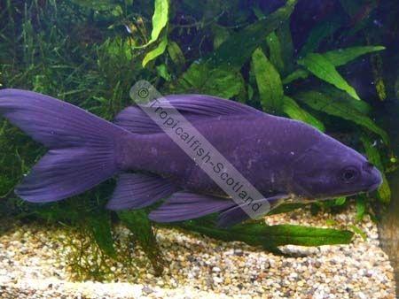 Blacker than black comet goldfish pinterest goldfish for Golden fish pipe