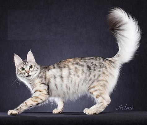 How Long Do Turkish Van Cats Get