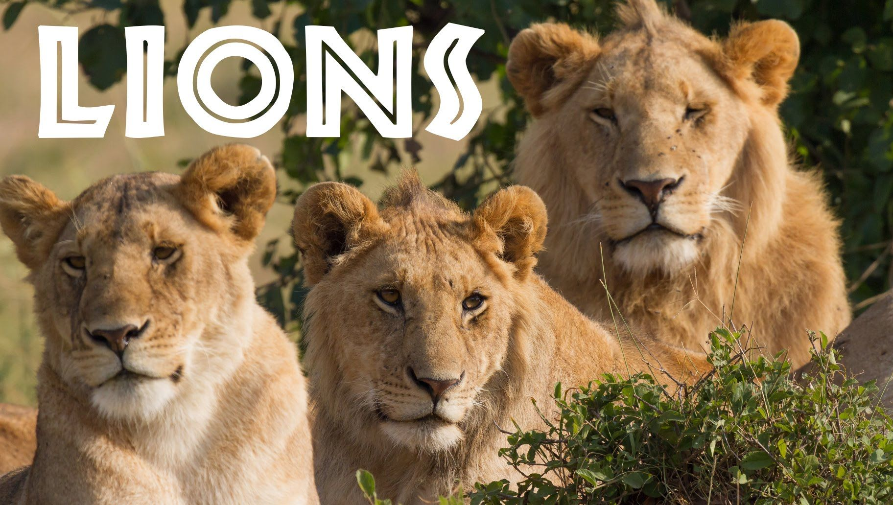 All About Lions for Children Animal Safari Videos for