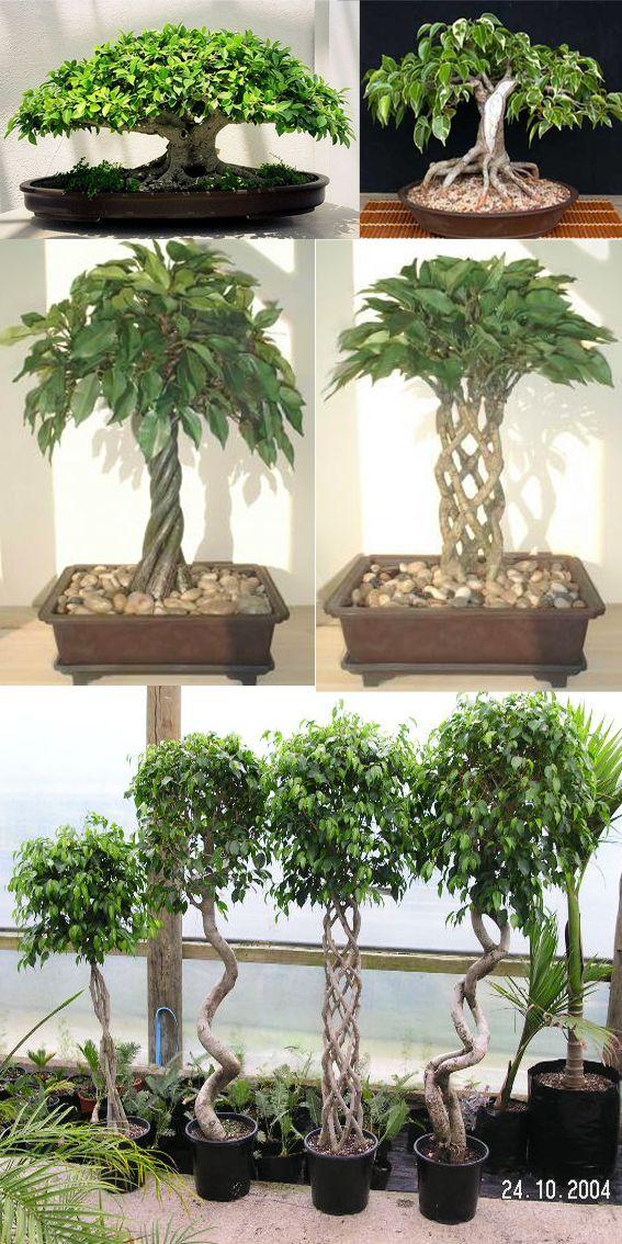 bonsai ficus bonsai plants indoor bonsai