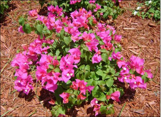 Bushy Bougainvillea Fast Growing Medium To Large Shrubs Bright Colorful Flowers And Dense Green Foliage Red