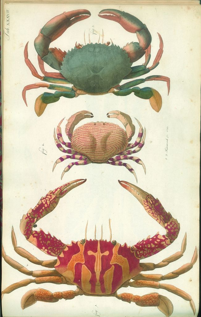 hand-coloured engravings of crabs | animal art | Pinterest ...