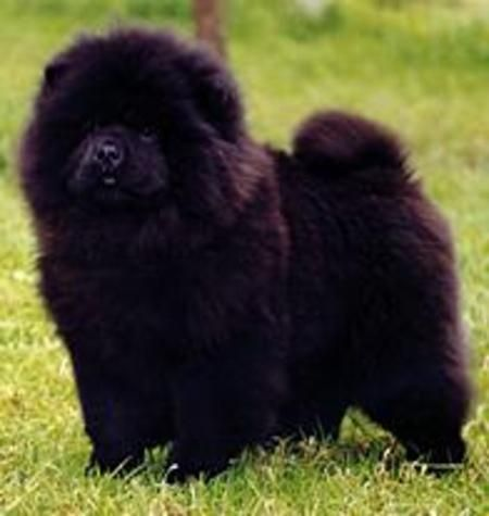 Why I Don T Mess With Chow Chows Chow Chow Dogs Chinese Dog