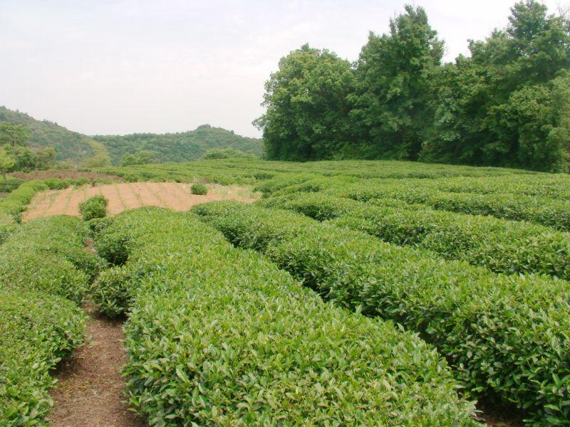 Tea-adventure is altijd op zoek naar nieuwe theeën maar gaan we ook naar onze huidige leveranciers om te zien of alles gaat zoals we het graag zien. De thee moet authentiek te zijn (van de plaats van herkomst). zoveel mogelijk biologisch en zeer goed van smaak zijn. http://tea-adventure.nl/groene-thee/long-jing