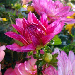 Pink Dahlia Bud