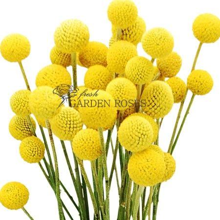 Craspedia Yellow 2 A Jpg 450 450 Billy Buttons Button Flowers Craspedia