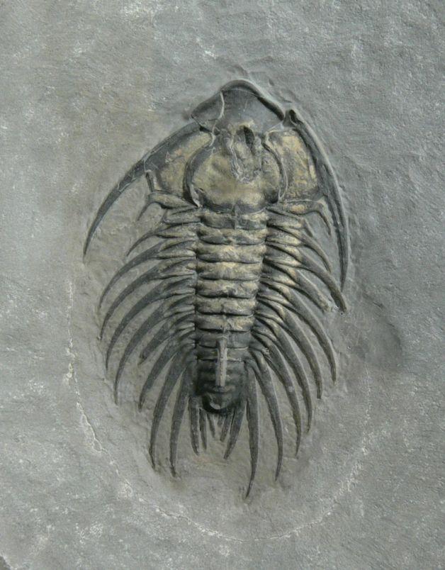 Zacanthoides grabaui