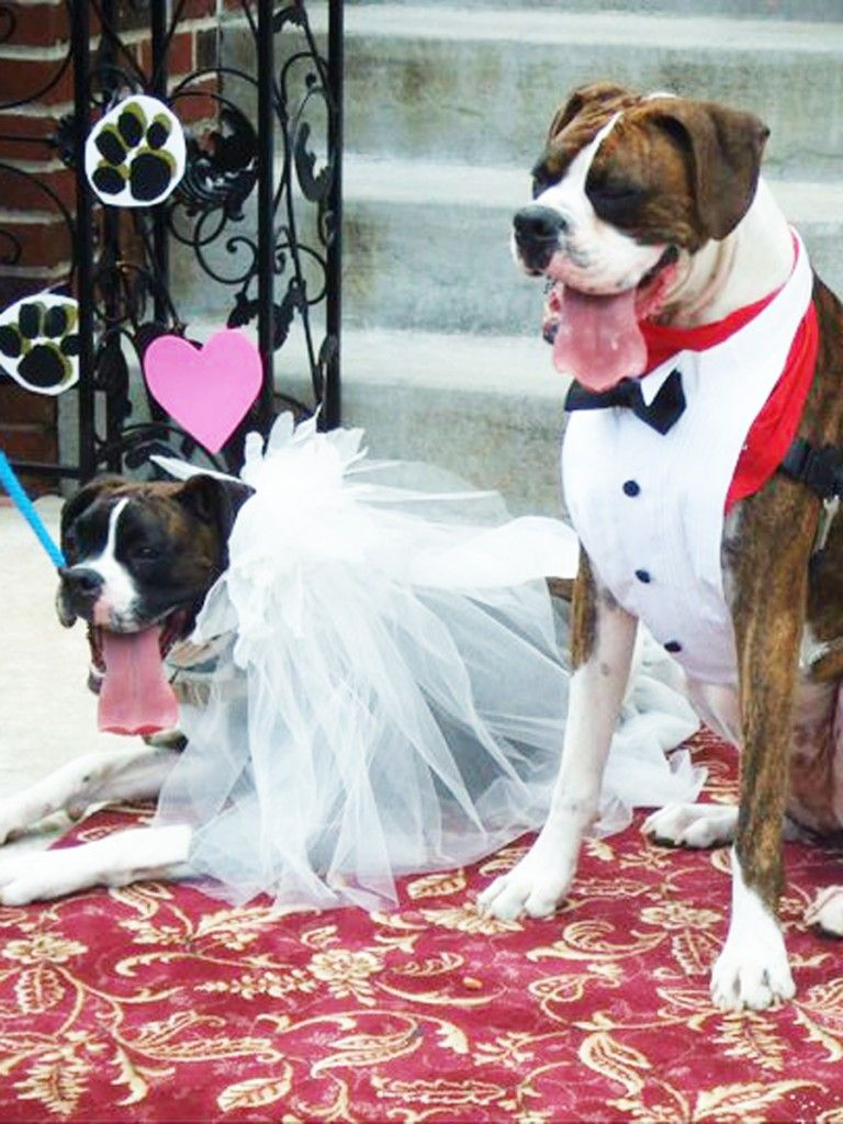 Boxer Dog Wedding, even the tongues match!!!! LOL :)