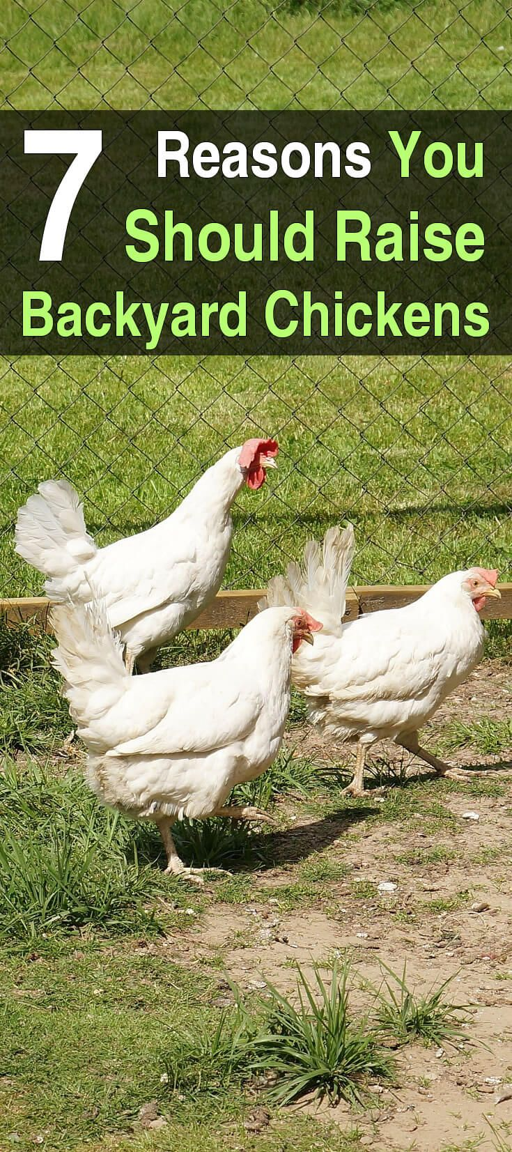 7 reasons you should raise backyard chickens backyard chickens