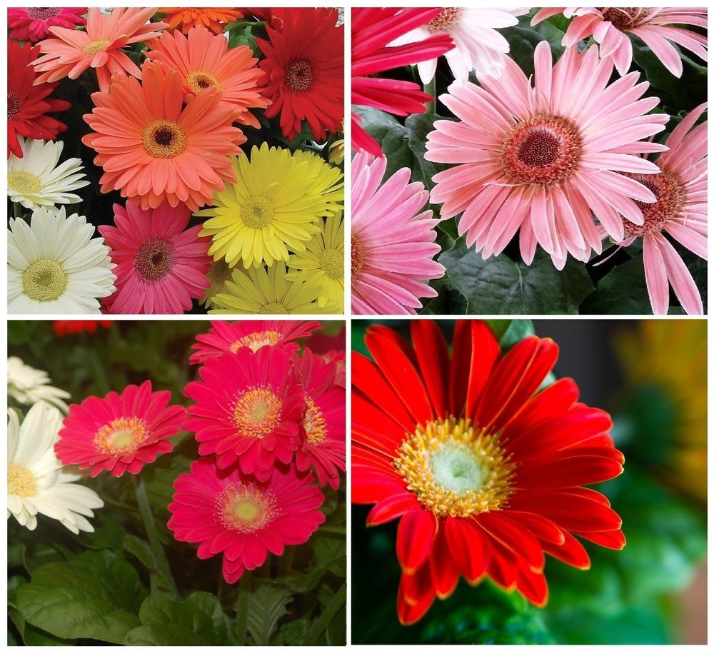 Gerber Daisies Gerbera Jamesonii Barberton Transvaal Mixed Colors Seeds Flower Seeds Annual Flowers Flowers Perennials