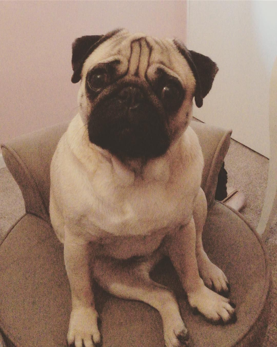 Oh Hey Beautiful Pug Puppy Dogsofinstagram Dog Love Pugdogs