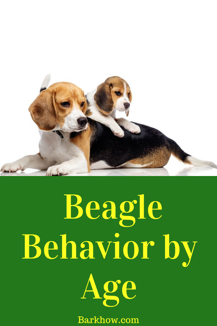 Beagle behavior by age and behavior issues in 2020