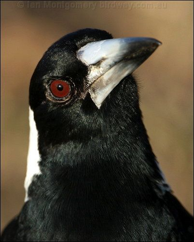photo of adult male australian magpie of nominate race tibicens