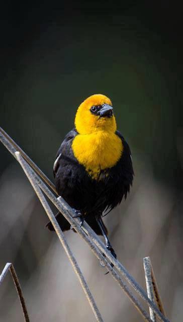 yellow head black bird free as a bird pinterest birds