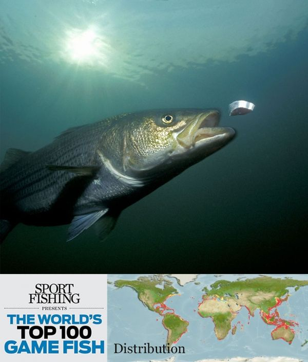 The striped bass is one of a few species on this list that for Florida game fish