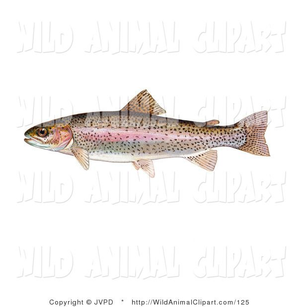 Rainbow Trout Pictures Free Clip Art Of A Rainbow Trout Fish