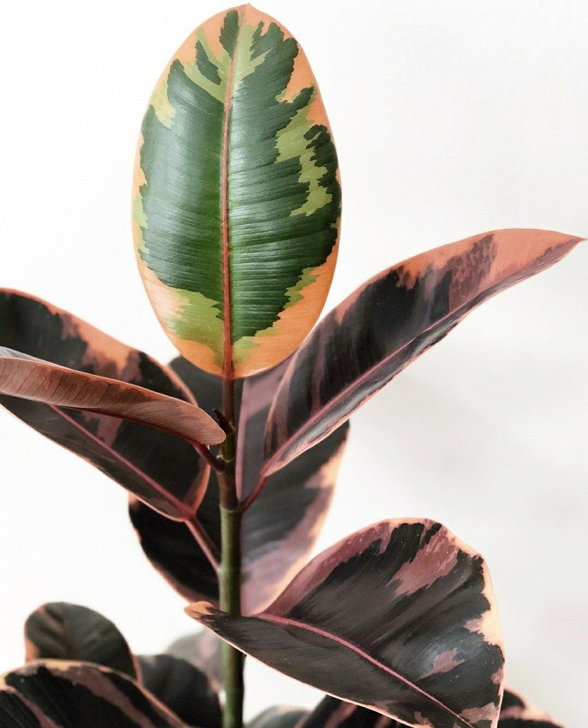 Rubber Tree Plant Care The Por Ficus Elastica Plants Don T Wine