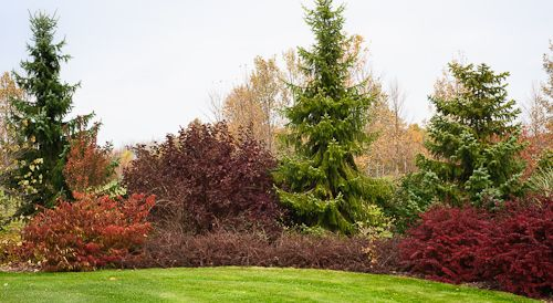 shrub border left mariesii
