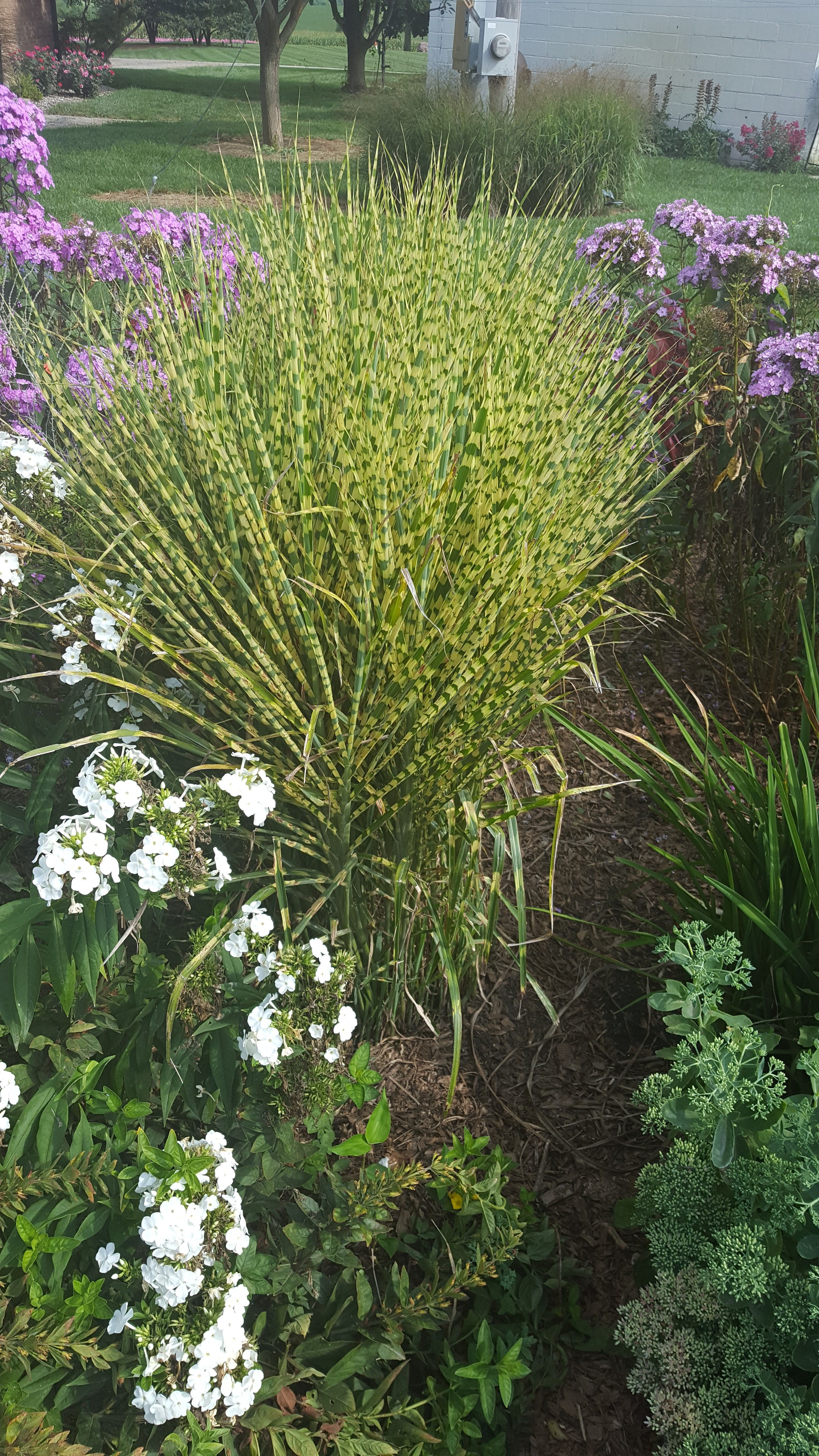 Miscanthus Gold Bar Is A Small Grass Similar To Zebra Grass It