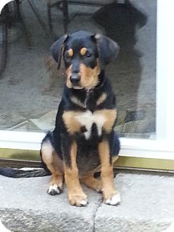 Marlton Nj Labrador Retriever Rottweiler Mix Meet Baby Allie