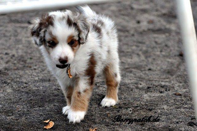 Miniature Australian Shepherd Aussie Welpen Hundebabys Hunde
