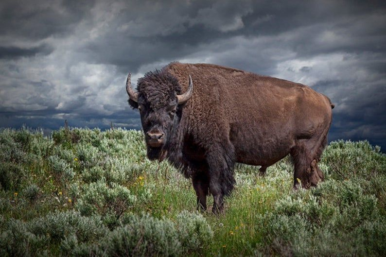 Buffalo Photograph American Buffalo en Yellowstone
