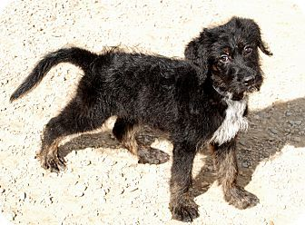 Norfolk Va German Shepherd Dog Poodle Standard Mix Meet