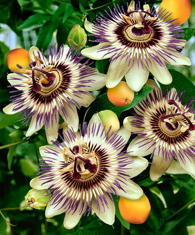 Growing Passion Flower Indoors Passion Flower Plant Passion Flower Flower Garden Plants