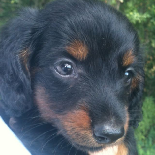 5 Week Old Black And Tan Long Haired Miniature Dachshund Chaos