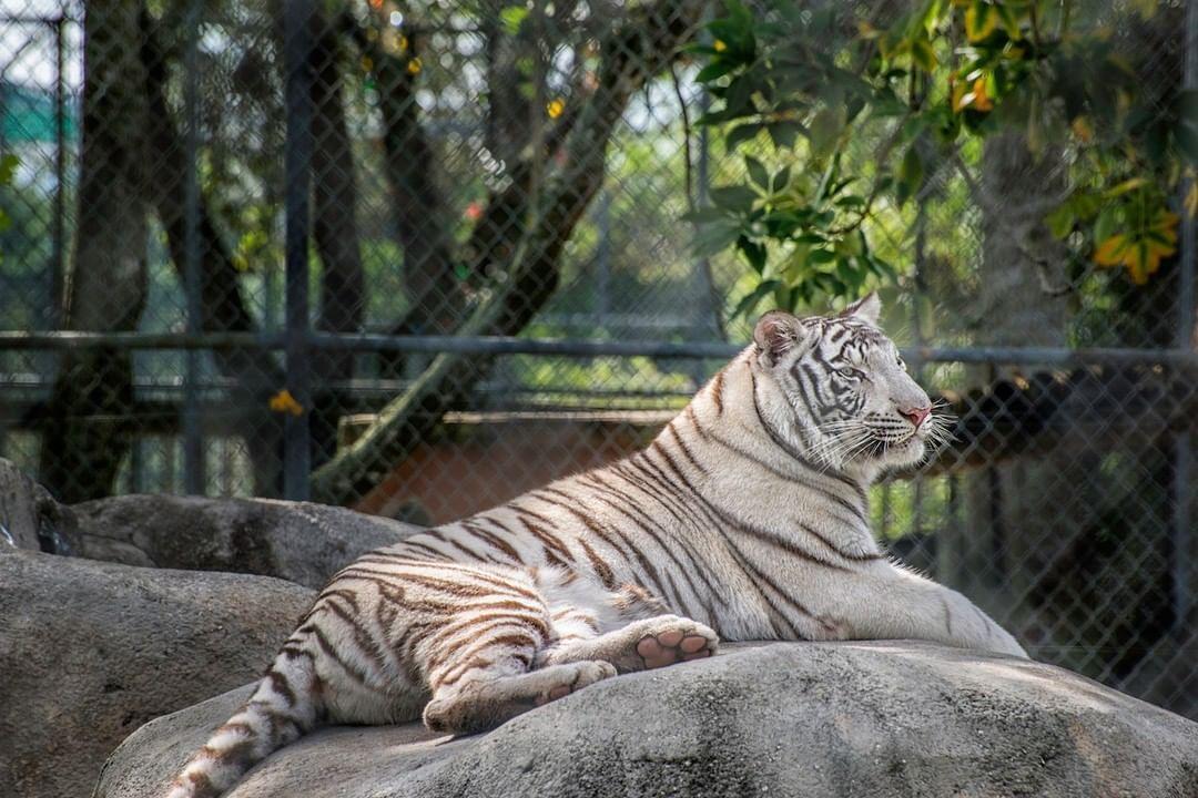 At bigcathabitat you can see royal Bengal tigers