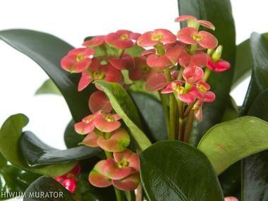 Wilczomlecz Lsniacy Doniczkowe Baza Roslin Euphorbia Milii Euphorbia Plants